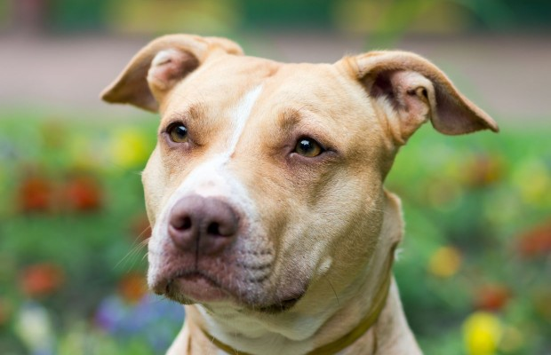 Proposed Tennessee Law Would Affect Pit Bull Owners