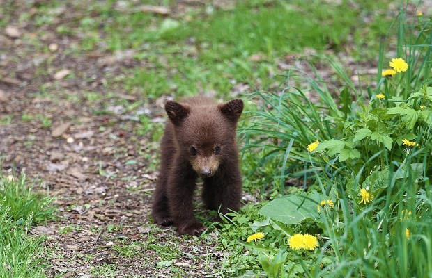 The Most Adorable Bear Cub Rescue Video Ever