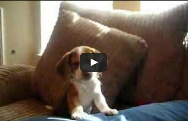 Beagle Puppy Shows Off His Howl