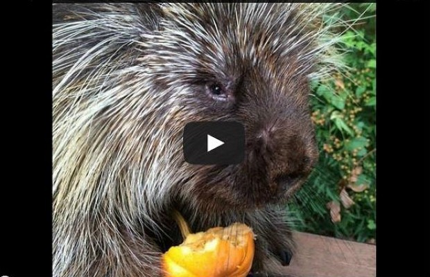 Teddy Bear the Talking Porcupine Loves Pumpkin