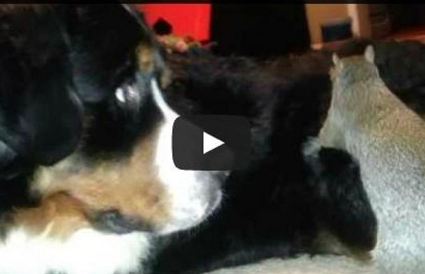 Squirrel Tries To Hide Nut In Dog's Fur
