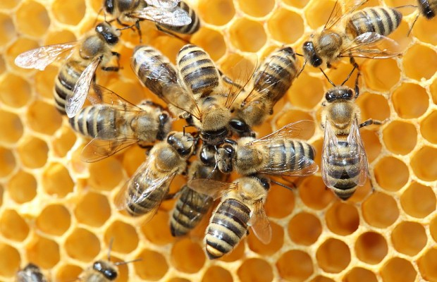 Should Clarksville Allow Honey Bee Hives in Residential Areas?